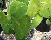 Cactus Plant Mature Opuntia Emerald Wave. Beautiful, mature, bright green cactus.