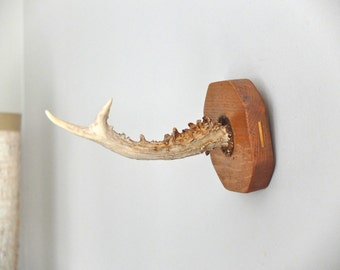 Deer horn trophy / taxidermy, cabinet of curiosities 1960s