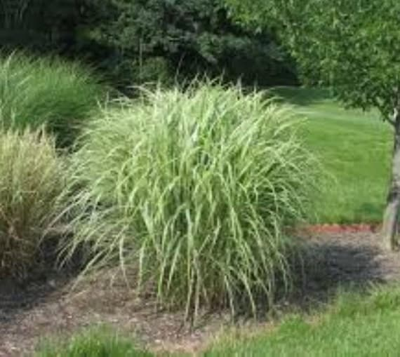 Variegated japanese silver grass by newlifenurserydotnet for Variegated ornamental grass