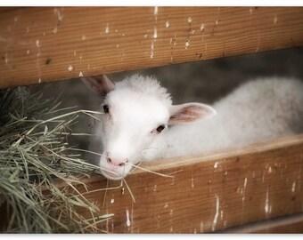 Photo Print - Baby Lamb, Snowy White Lamb, Mary Had a Little Lamb, Farm Animals, Babys Room Decor