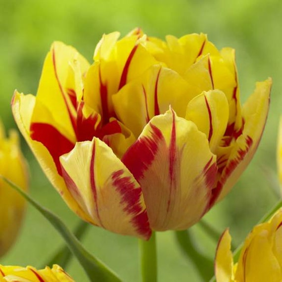 Tulip Double Early Monsella,12/+cm, Fall Planting Bulbs, NOW SHIPPING!