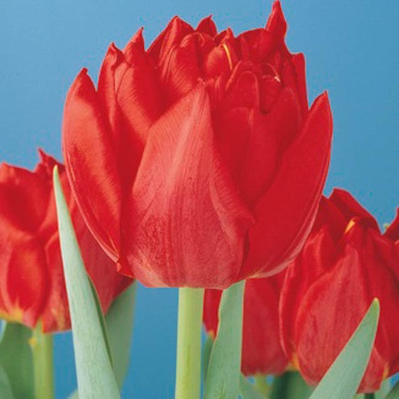 Tulip Double Early Abba,12/+cm, Fall Planting Bulbs, NOW SHIPPING!