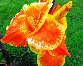 SPRING SALE! Canna Lily - Lot of 8 rhizomes plus 1 free!