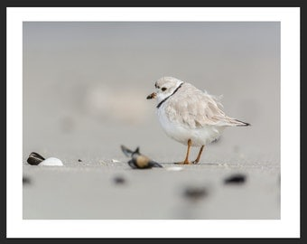 Piping Plover 8x10 Matted Picture