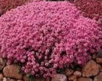 Creeping Mother of  Thyme- 200 Seeds