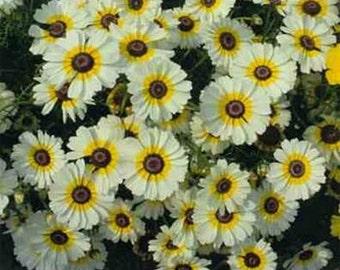 Chrysanthemum -  Polar star- 200 seeds