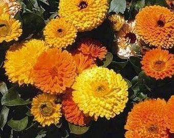 Calendula Pot Marigold Varieties- Mix colors-100 seeds.- Pink Suprise, Yellow, Orange, Geisha Girl- 50 seeds each pack