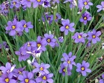 Blue- Eyed Grass- 100 Seeds