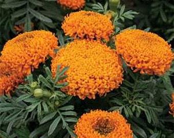 Marigold -, Orange- 50 seeds each pack