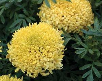 Marigold - Yellow - 50 seeds each pack