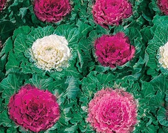 Ornamental  Cabbage- 50 seeds each pack