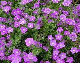 Nierembergia Various- Purple or white- 100 seeds each pack