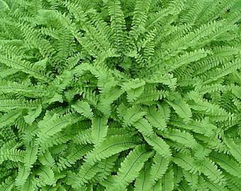 25 Maidenhair Fern bare roots