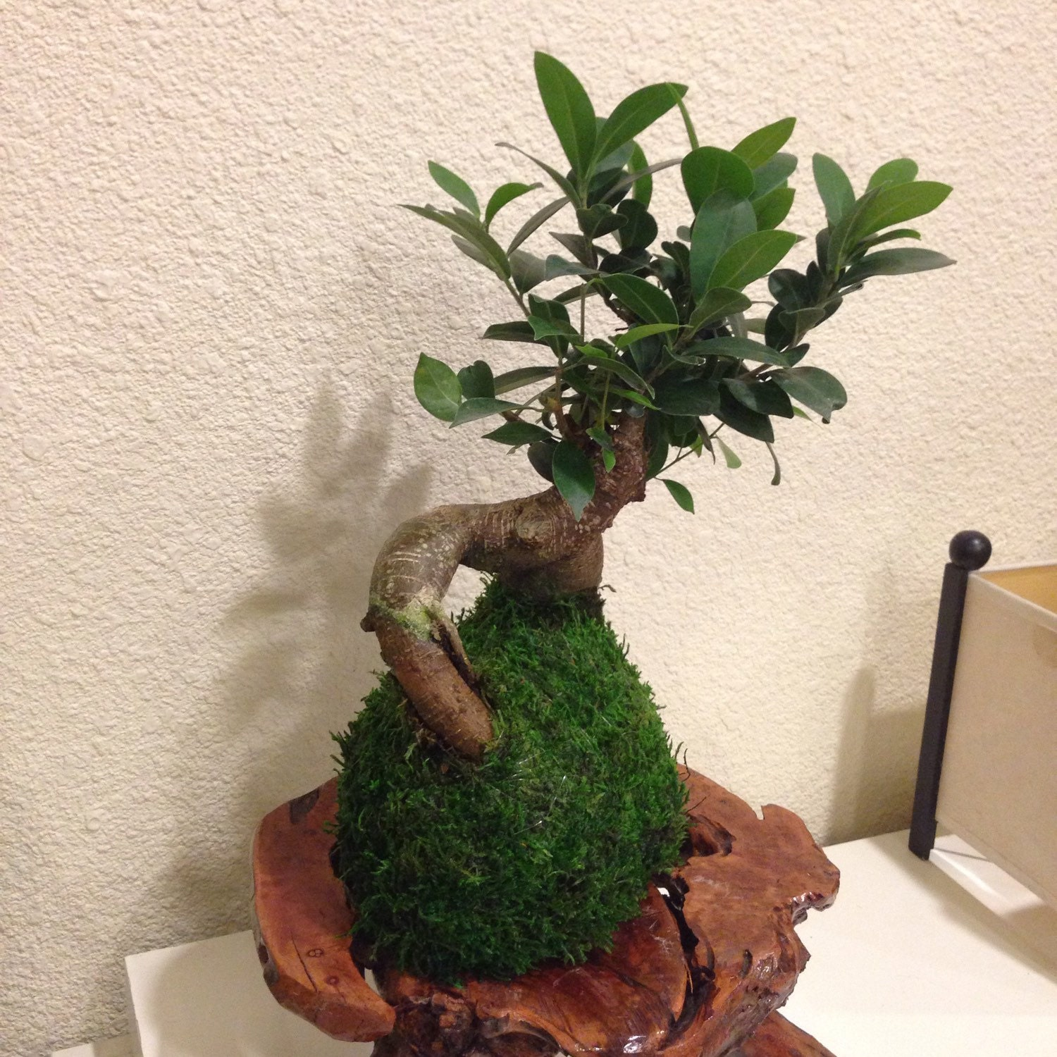 kokedama bonsai moss ball ginseng ficus by kodamaforest on etsy. Black Bedroom Furniture Sets. Home Design Ideas