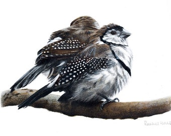 A3 Double-barred Finches - Australian Birds Wildlife Art Print