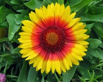 Blanket Flower Seeds (mesa bi-color)
