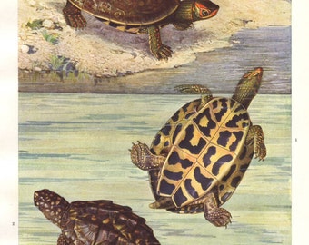 Indian turtles original 1922 art print - Natural history, wall decor, reptile - 93 years old German antique lithograph illustration (B032)