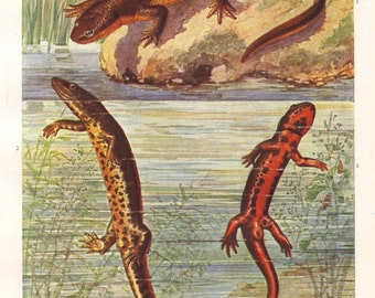 Newts, original 1922 art print - Natural history, wall decor, amphibian - 93 years old German antique lithograph illustration (B038)