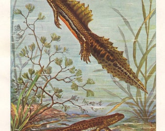 Banded newts, original 1922 art print - Natural history, wall decor, amphibian - 93 years old German antique lithograph illustration (B039)
