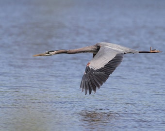 Great Blue Heron, heron, flying, lake, photo, print, photography, wall art, home decor, bird, nature photography, free shipping