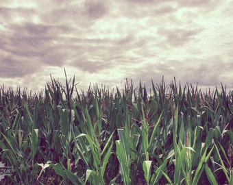 Cornfields and Clouds - corn fields and a stormy sky in the French countryside, nature photography with shades of green and grey,