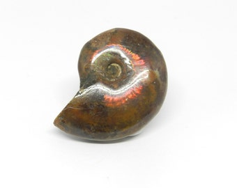 Opalized Whole Ammonite Fossil- AM003