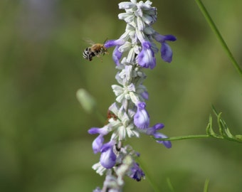 Bee and Bluebonnet Photo