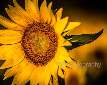 Sunflower - Sunny - Bright Flowers - Yellow - Yellow Sunflower - Happy - Nature - Fine Art Photography - Looking at the Sun