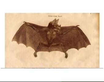 1790 ANTIQUE SPECTRE BAT print original antique animal engraving