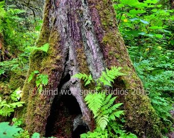 Tongass Rainforest Photo, Sitka Spruce, Alaska, Landscape, Fine Art Photo
