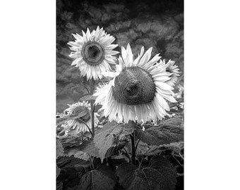 Radiant Sunflowers in Black and White in a Field near Rockford Michigan No.BW112 A Fine Art Flower Nature Photograph also in Sepia Tone