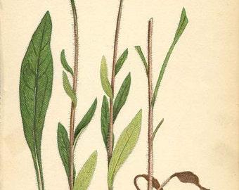 BLACK EYED SUSAN or Yellow Daisy (Rudbekia Hirta) Original 1909 Book Page Weed Illustration Plant Drawing Plate 58