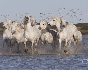 White Horses and Pink Flamingos -  Fine Art Horse Photograph - Horses - Fine Art Print - Camargue - Flamingoes