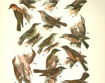 Birds 1931 Australian Book Print natural science plate XVII, bird prints