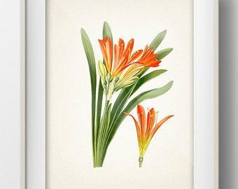Bush Lily - Natal Lily - (Clivia Miniata) - FL-03 - Fine art print of a vintage natural history antique illustration,