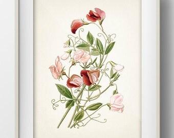 Sweet Pea flower Botanical Illustration - FL-21 - Fine art print of a vintage natural history antique botanical illustration