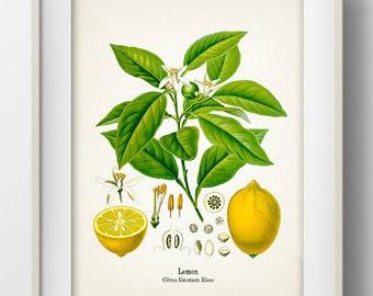 Vintage Lemon Print - KO-05 - Fine art print of a vintage natural history antique illustration