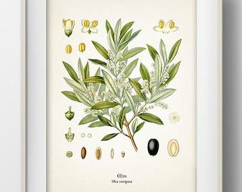 Vintage Olive Print - KO-21 - Fine art print of a vintage natural history antique illustration