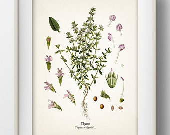 Vintage Thyme Print - KO-11 - Fine art print of a vintage natural history antique illustration