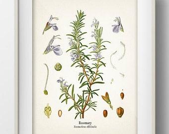 Vintage Rosemary Print - KO-12 - Fine art print of a vintage natural history antique illustration