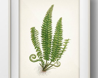 Green Fern 1- PL-01 - Fine art print of a vintage natural history antique illustration - PL-01