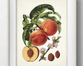 Vintage Peach Print 2- PL-43 - Fine art print of a vintage natural history antique illustration