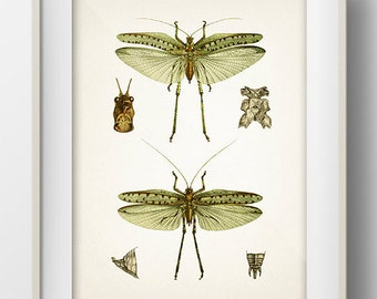 Insect Drawing - IN-06 - Fine art print of a vintage natural history antique illustration, 8x10 11x14 12x18 13x19