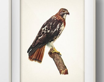 Red Tailed Hawk - BI-14 - Fine art print of a vintage natural history antique illustration