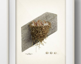 Barn Swallow Nest - NE-07 - Fine art print of a vintage natural history antique illustration