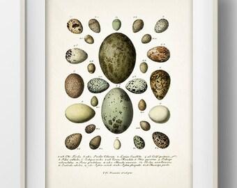 Eggs Series 3 - EG-03 - Rustic woodland fine art print of a vintage natural history antique illustration