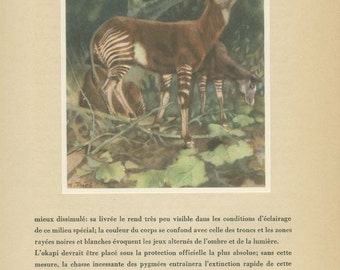 Sale 20% off Okapi Print, French Vintage Natural History 1953/43 Trieb, Country Cottage Decor, Animal Wall Art, Antique Print, World Animals