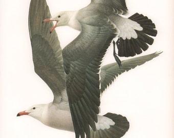 JF Lansdowne Print Book Plate Art, Heermann's Gull