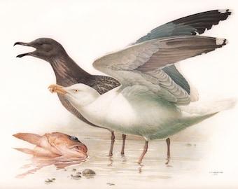 JF Lansdowne Print Book Plate Art, Western Gull