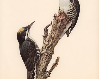 JF Lansdowne Print Book Plate Art, Black-backed Three-toed Woodpecker